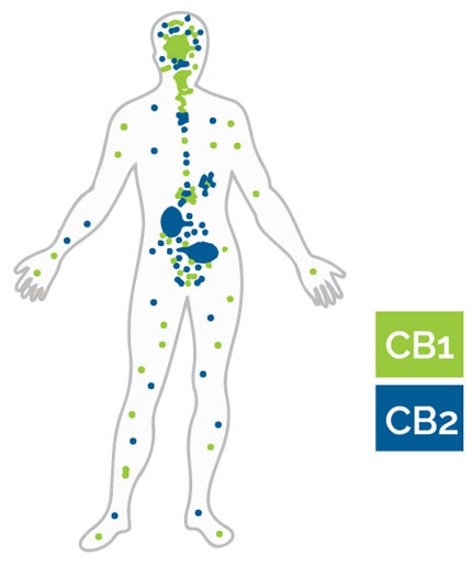 Strengthening CB Receptors with CBD Products